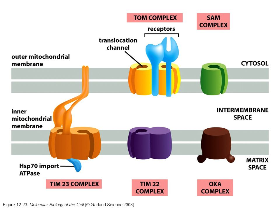 Figure 12-23 Molecular Biology of the Cell (© Garland Science 2008)