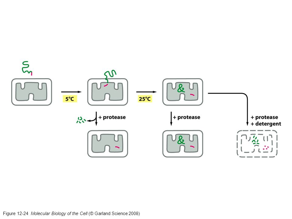 Figure 12-24 Molecular Biology of the Cell (© Garland Science 2008)