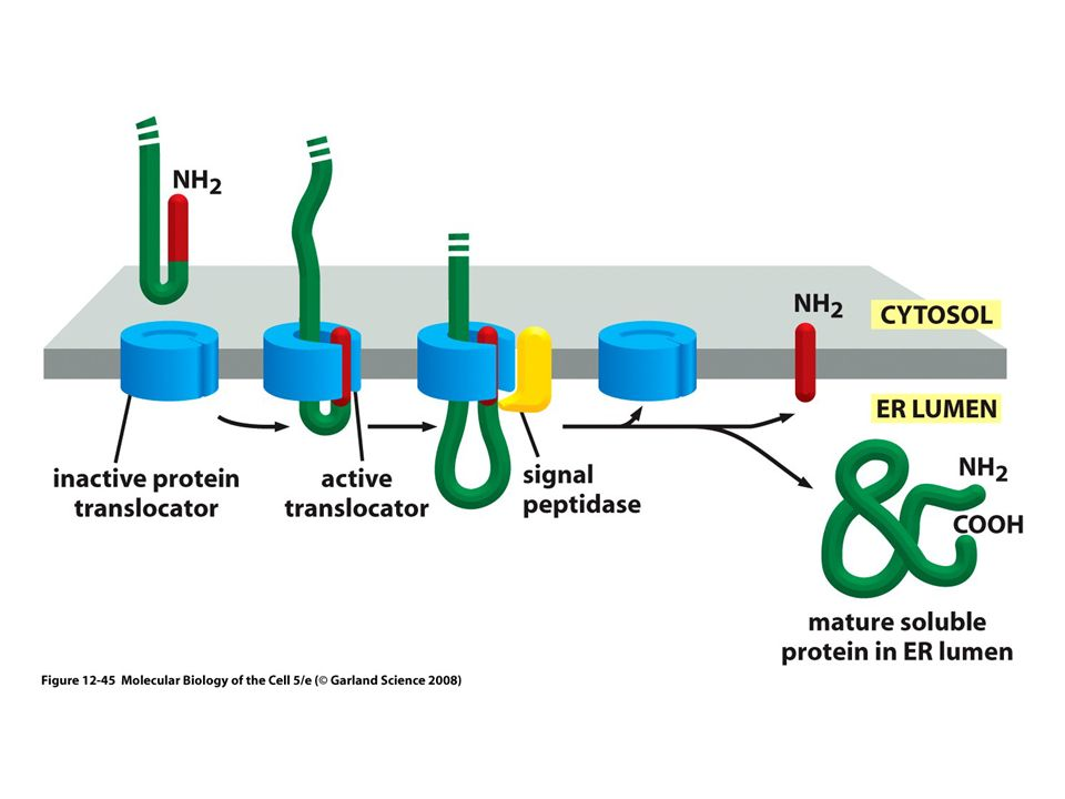 Figure 12-15 Molecular Biology of the Cell (© Garland Science 2008)