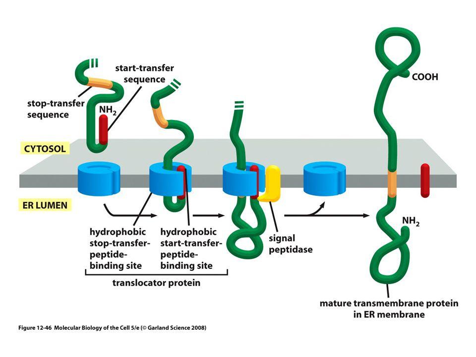 Figure 13-2 Molecular Biology of the Cell (© Garland Science 2008) Transporte vesicular