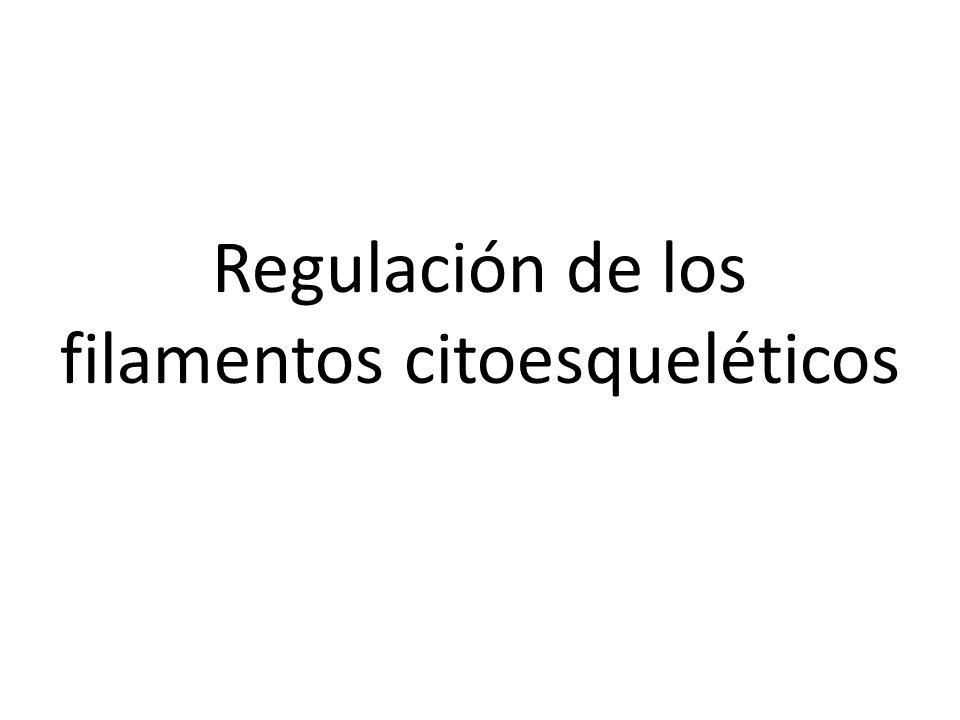 Regulación de los filamentos citoesqueléticos