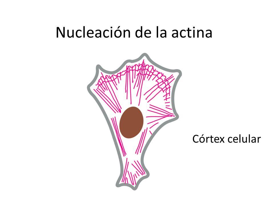 Nucleación de la actina Córtex celular