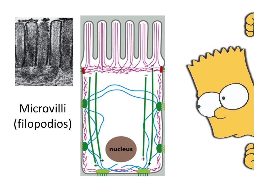 Microvilli (filopodios)