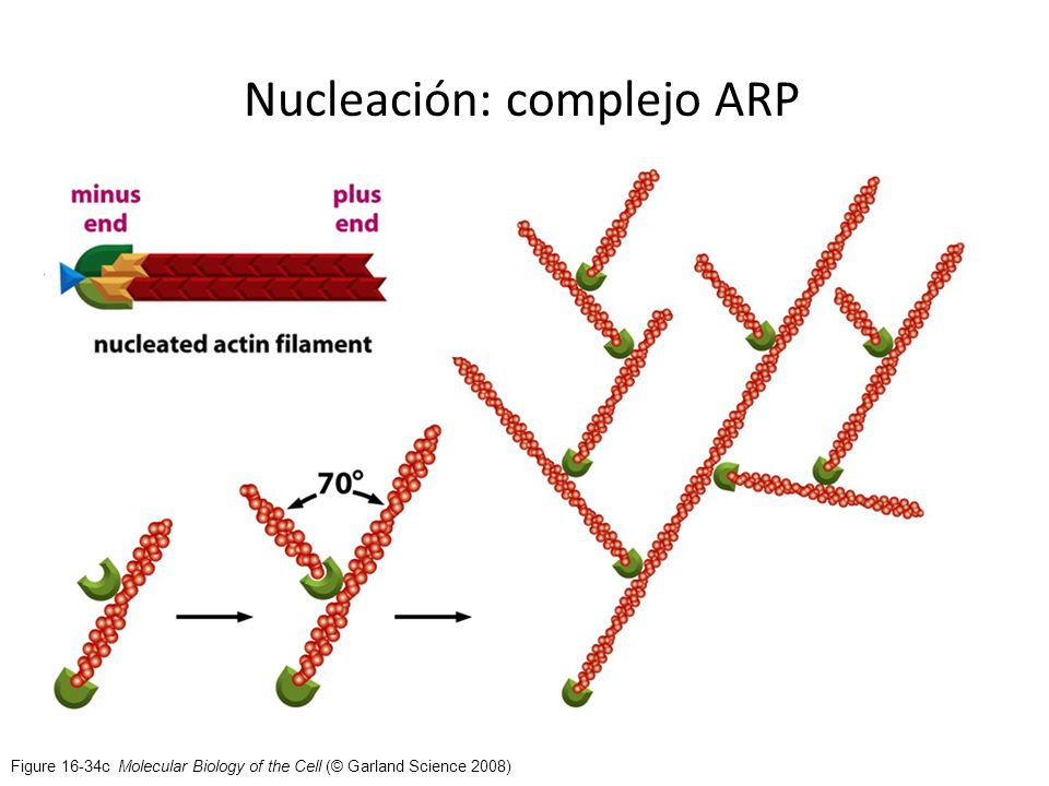 Figure 16-34c Molecular Biology of the Cell (© Garland Science 2008) Nucleación: complejo ARP