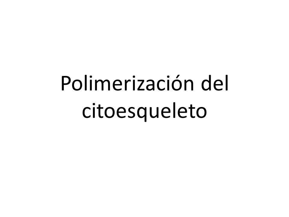 Polimerización del citoesqueleto
