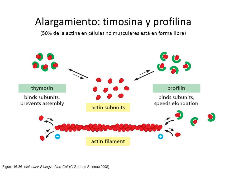 Figure 16-36 Molecular Biology of the Cell (© Garland Science 2008) Alargamiento: timosina y profilina (50% de la actina en células no musculares está