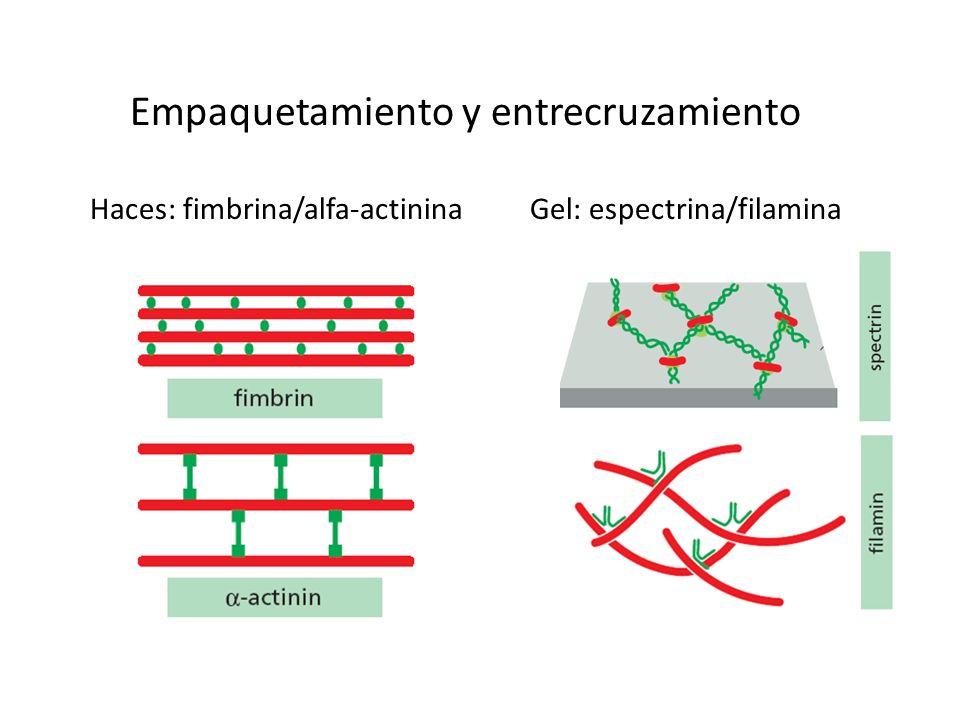 Empaquetamiento y entrecruzamiento Haces: fimbrina/alfa-actininaGel: espectrina/filamina