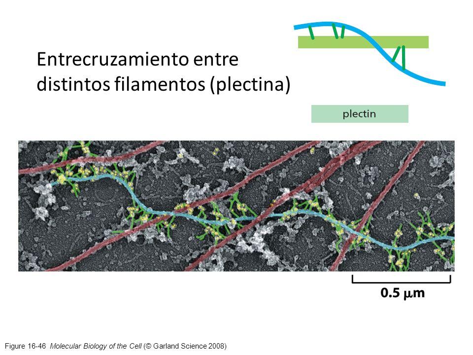 Figure 16-46 Molecular Biology of the Cell (© Garland Science 2008) Entrecruzamiento entre distintos filamentos (plectina)