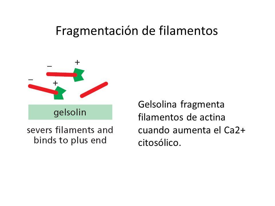 Fragmentación de filamentos Gelsolina fragmenta filamentos de actina cuando aumenta el Ca2+ citosólico.