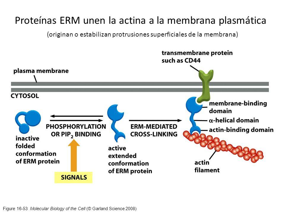 Figure 16-53 Molecular Biology of the Cell (© Garland Science 2008) Proteínas ERM unen la actina a la membrana plasmática (originan o estabilizan prot