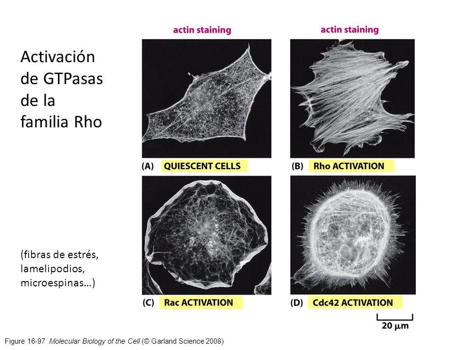 Figure 16-97 Molecular Biology of the Cell (© Garland Science 2008) Activación de GTPasas de la familia Rho (fibras de estrés, lamelipodios, microespi