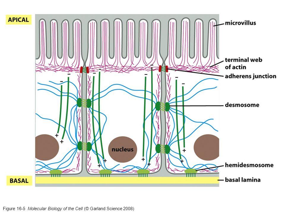 Nucleación del citoesqueleto