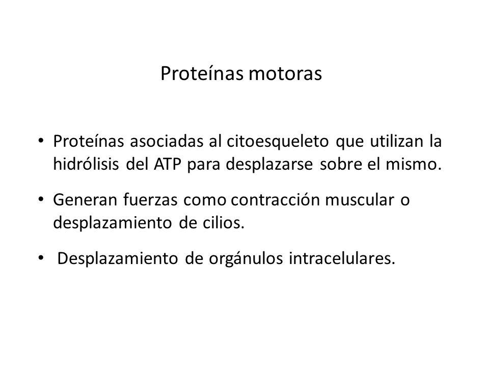 Proteínas motoras Proteínas asociadas al citoesqueleto que utilizan la hidrólisis del ATP para desplazarse sobre el mismo. Generan fuerzas como contra