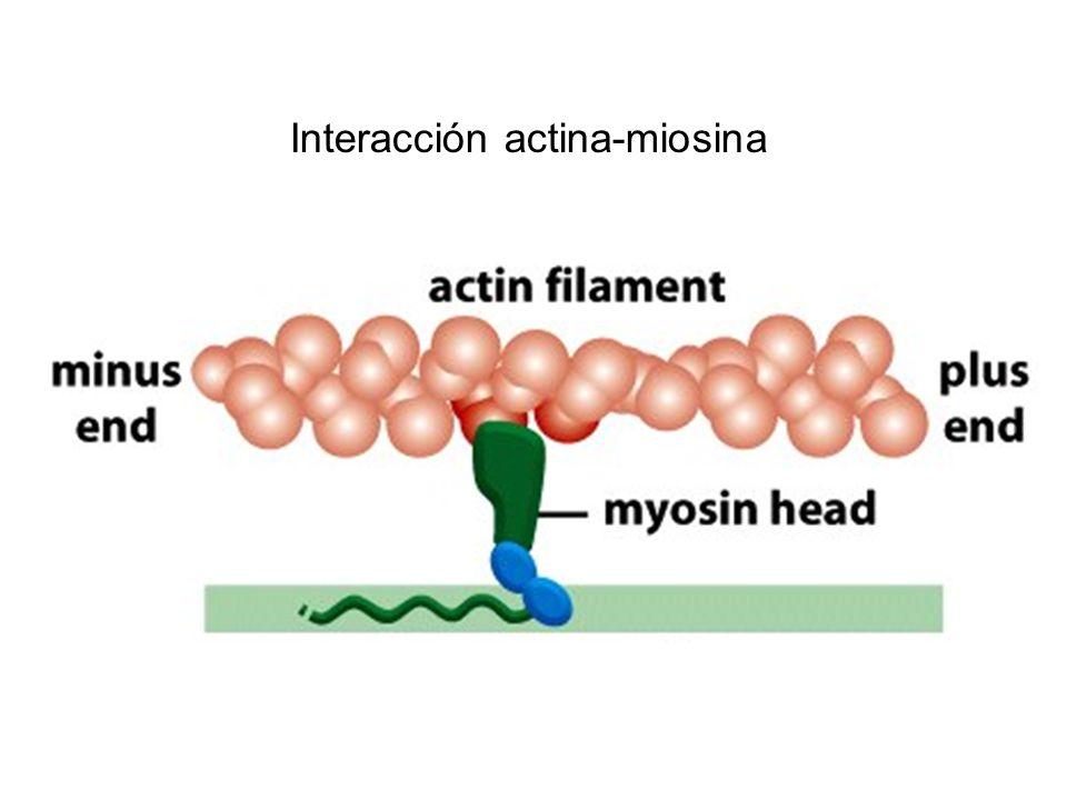 Interacción actina-miosina