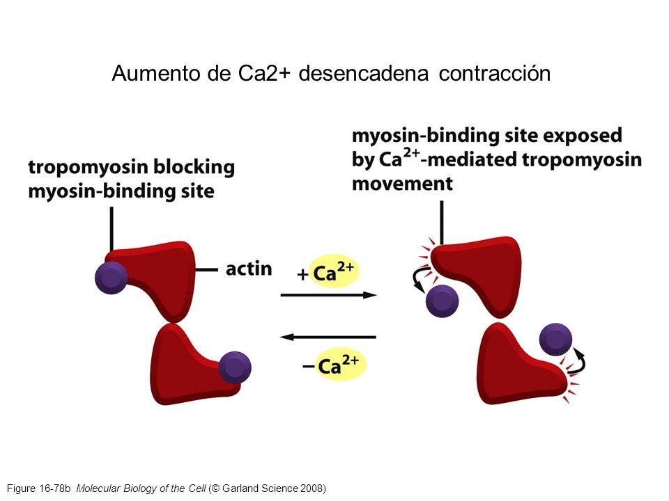 Figure 16-78b Molecular Biology of the Cell (© Garland Science 2008) Aumento de Ca2+ desencadena contracción