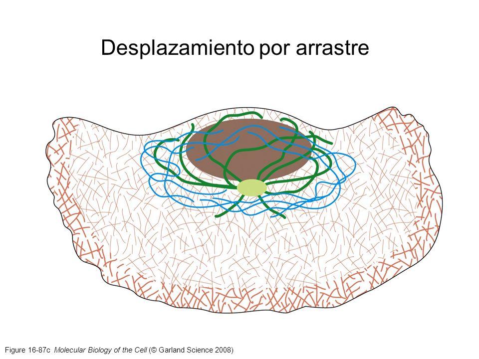 Figure 16-87c Molecular Biology of the Cell (© Garland Science 2008) Desplazamiento por arrastre