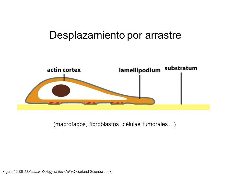Figure 16-86 Molecular Biology of the Cell (© Garland Science 2008) Desplazamiento por arrastre (macrófagos, fibroblastos, células tumorales…)