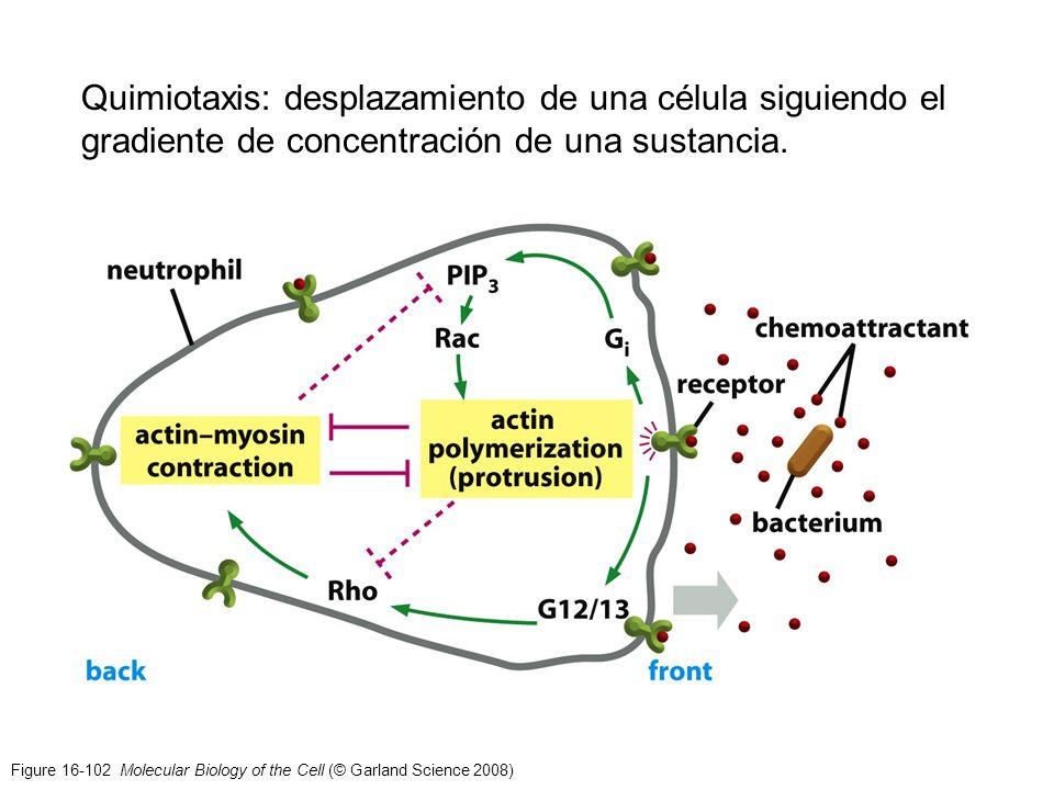 Figure 16-102 Molecular Biology of the Cell (© Garland Science 2008) Quimiotaxis: desplazamiento de una célula siguiendo el gradiente de concentración