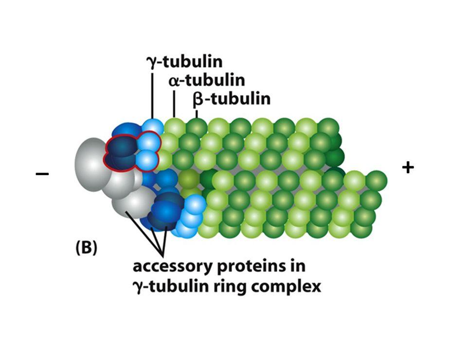 Nucleación y proteína gama-tubulina