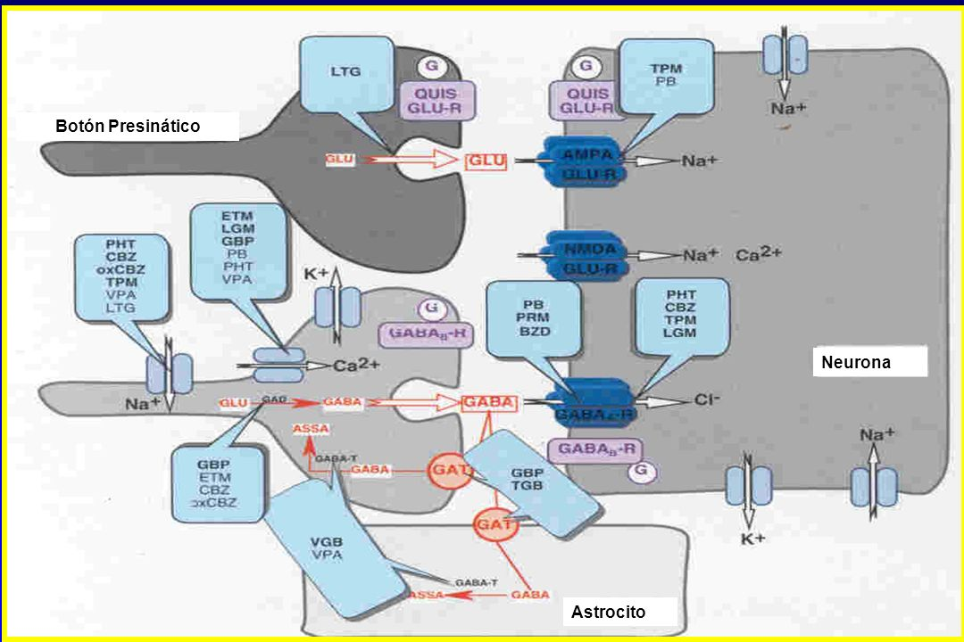 Botón Presinático Neurona Astrocito