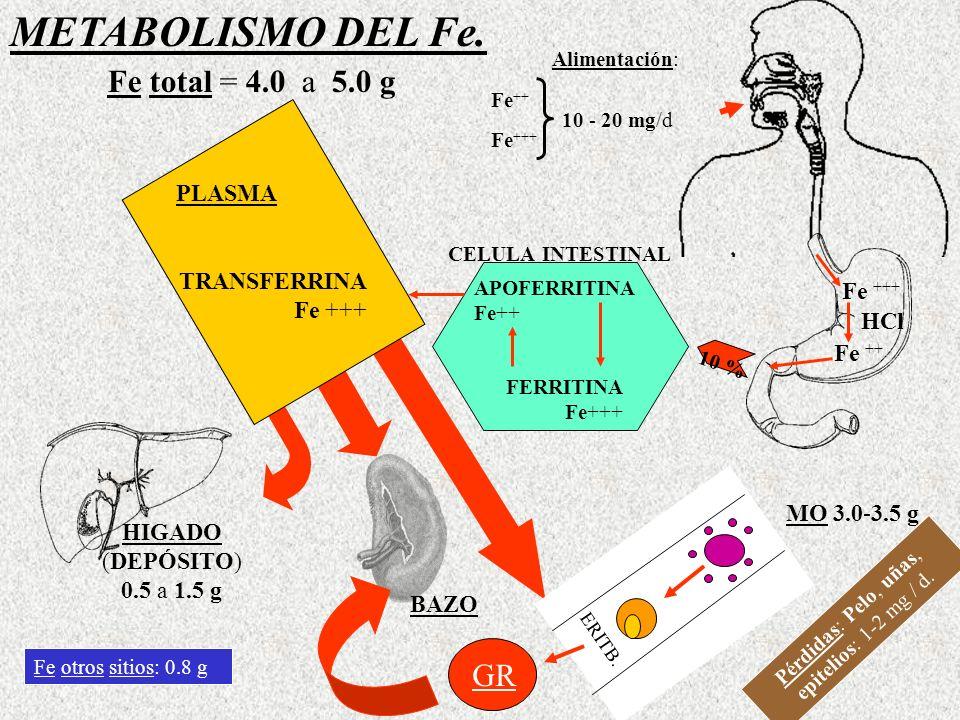 GR Alimentación: Fe ++ Fe +++ 10 - 20 mg/d Fe +++ HCl Fe ++ CELULA INTESTINAL APOFERRITINA Fe++ FERRITINA Fe+++ 10 % TRANSFERRINA Fe +++ PLASMA HIGADO (DEPÓSITO) 0.5 a 1.5 g BAZO MO 3.0-3.5 g ERITB.