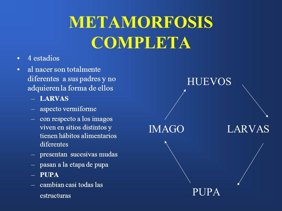 METAMORFOSIS COMPLETA 4 estadios al nacer son totalmente diferentes a sus padres y no adquieren la forma de ellos –LARVAS –aspecto vermiforme –con res