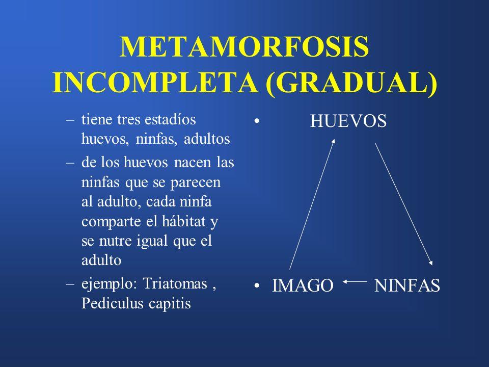 METAMORFOSIS INCOMPLETA (GRADUAL) –tiene tres estadíos huevos, ninfas, adultos –de los huevos nacen las ninfas que se parecen al adulto, cada ninfa co