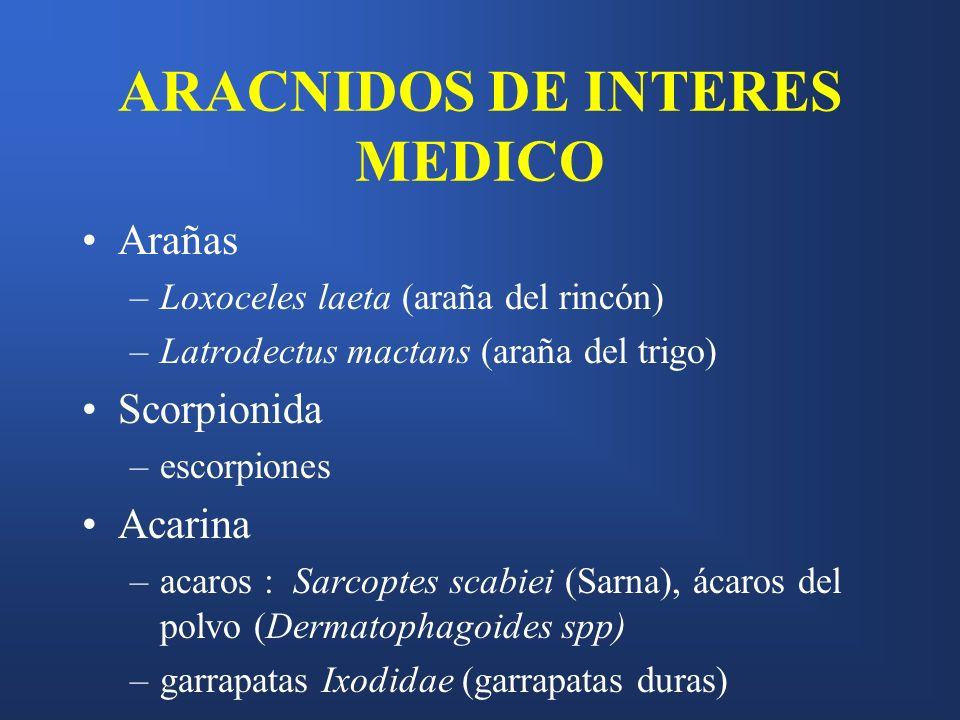 ARACNIDOS DE INTERES MEDICO Arañas –Loxoceles laeta (araña del rincón) –Latrodectus mactans (araña del trigo) Scorpionida –escorpiones Acarina –acaros