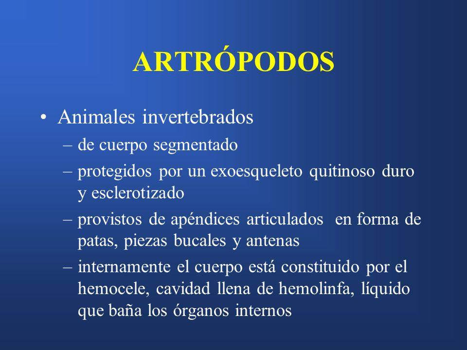 ARTRÓPODOS Animales invertebrados –de cuerpo segmentado –protegidos por un exoesqueleto quitinoso duro y esclerotizado –provistos de apéndices articul