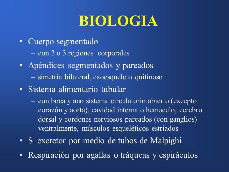 BIOLOGIA Cuerpo segmentado –con 2 o 3 regiones corporales Apéndices segmentados y pareados –simetría bilateral, exoesqueleto quitinoso Sistema aliment