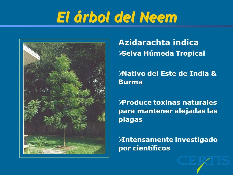 El árbol del Neem Azidarachta indica Selva Húmeda Tropical Nativo del Este de India & Burma Produce toxinas naturales para mantener alejadas las plaga