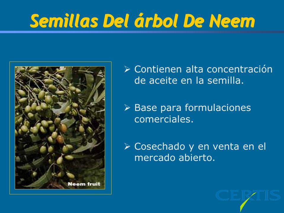 Semillas Del árbol De Neem Contienen alta concentración de aceite en la semilla.