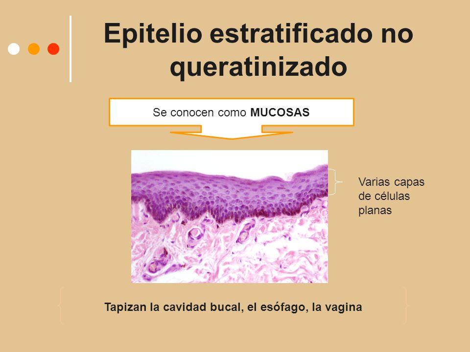 Epitelio estratificado no queratinizado Se conocen como MUCOSAS Tapizan la cavidad bucal, el esófago, la vagina Varias capas de células planas