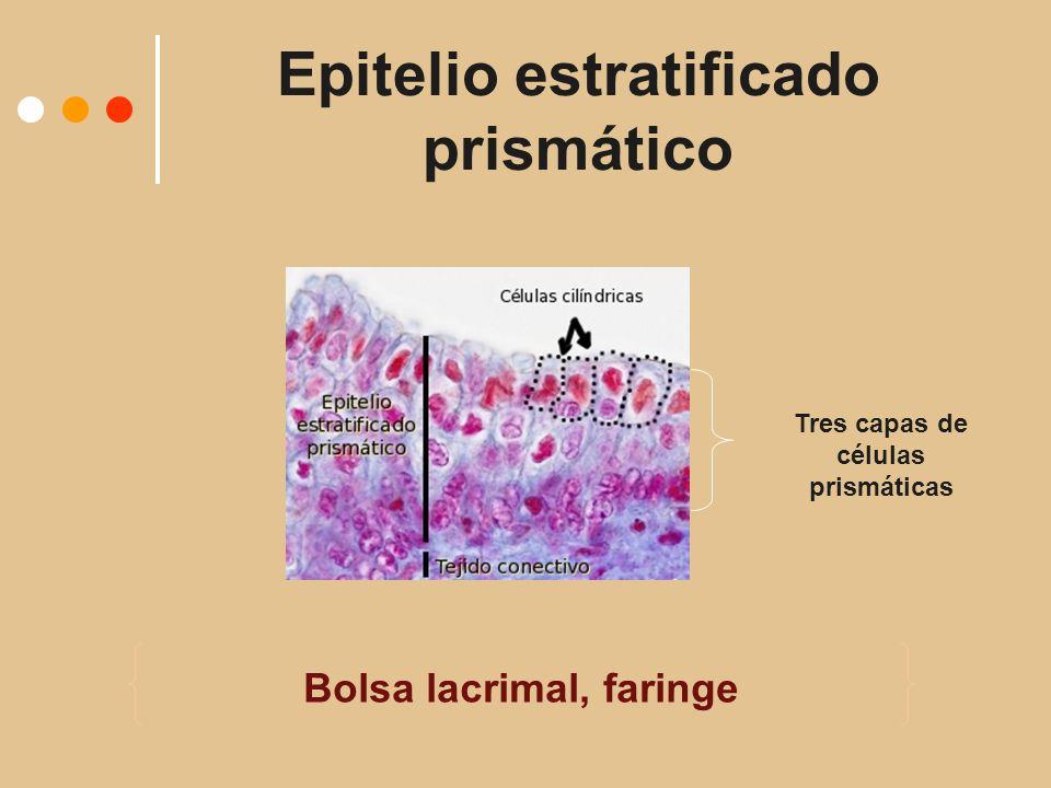 Epitelio estratificado prismático Bolsa lacrimal, faringe Tres capas de células prismáticas