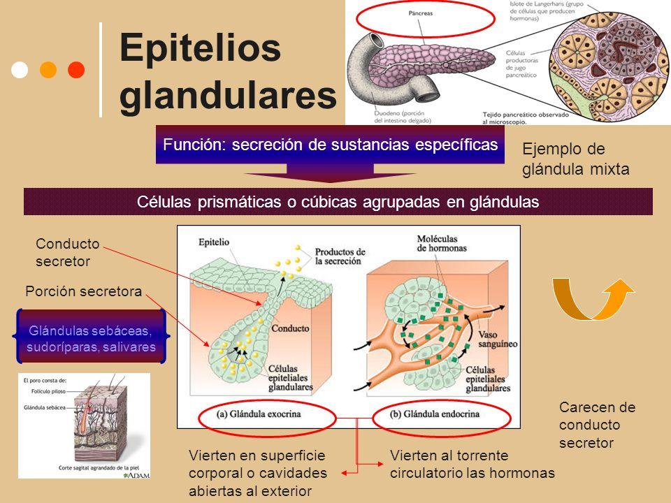 Epitelios glandulares Función: secreción de sustancias específicas Células prismáticas o cúbicas agrupadas en glándulas Vierten en superficie corporal o cavidades abiertas al exterior Porción secretora Conducto secretor Glándulas sebáceas, sudoríparas, salivares Vierten al torrente circulatorio las hormonas Carecen de conducto secretor Ejemplo de glándula mixta