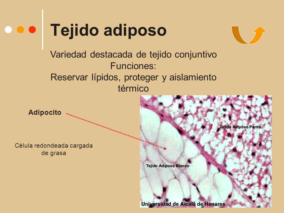Tejido adiposo Adipocito Célula redondeada cargada de grasa Variedad destacada de tejido conjuntivo Funciones: Reservar lípidos, proteger y aislamiento térmico