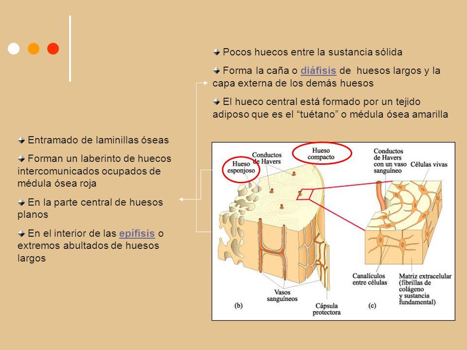 Pocos huecos entre la sustancia sólida Forma la caña o diáfisis de huesos largos y la capa externa de los demás huesos El hueco central está formado por un tejido adiposo que es el tuétano o médula ósea amarilla Entramado de laminillas óseas Forman un laberinto de huecos intercomunicados ocupados de médula ósea roja En la parte central de huesos planos En el interior de las epífisis o extremos abultados de huesos largos