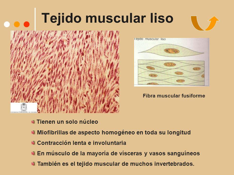 Tejido muscular liso Fibra muscular fusiforme Tienen un solo núcleo Miofibrillas de aspecto homogéneo en toda su longitud Contracción lenta e involuntaria En músculo de la mayoría de vísceras y vasos sanguíneos También es el tejido muscular de muchos invertebrados.
