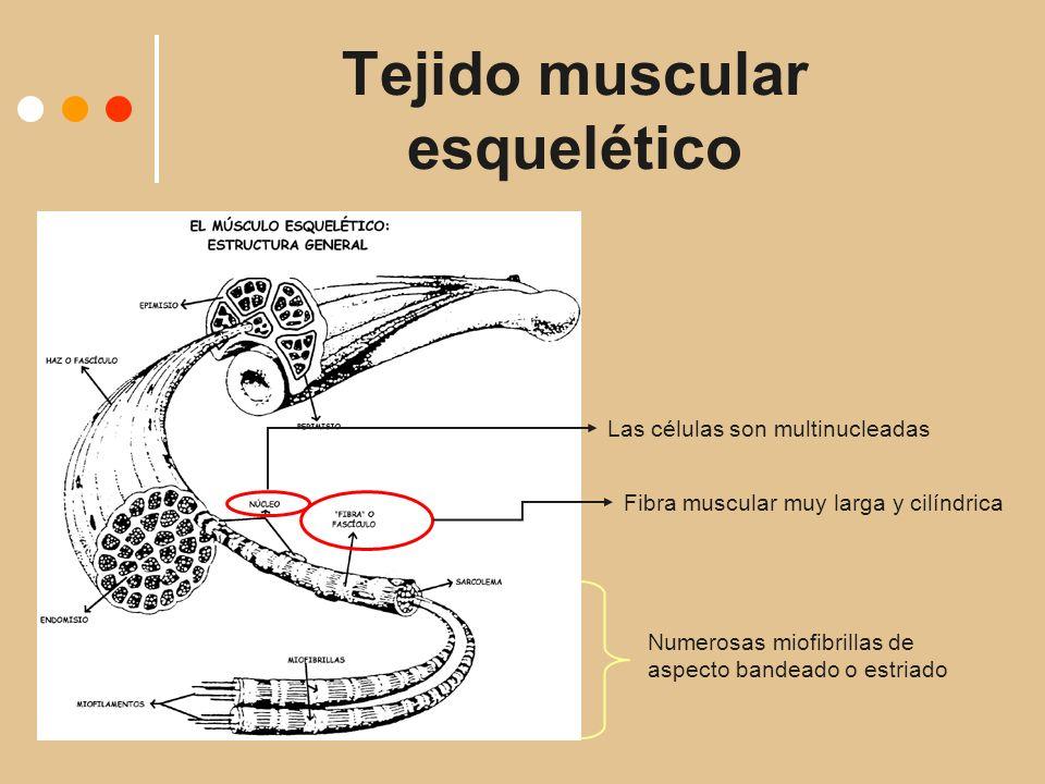 Tejido muscular esquelético Fibra muscular muy larga y cilíndrica Las células son multinucleadas Numerosas miofibrillas de aspecto bandeado o estriado