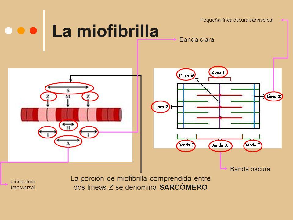 La miofibrilla La porción de miofibrilla comprendida entre dos líneas Z se denomina SARCÓMERO Pequeña línea oscura transversal Banda clara Banda oscura Línea clara transversal