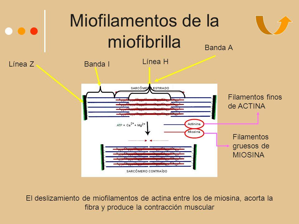 Miofilamentos de la miofibrilla Filamentos finos de ACTINA Filamentos gruesos de MIOSINA Línea ZBanda I Línea H Banda A El deslizamiento de miofilamentos de actina entre los de miosina, acorta la fibra y produce la contracción muscular