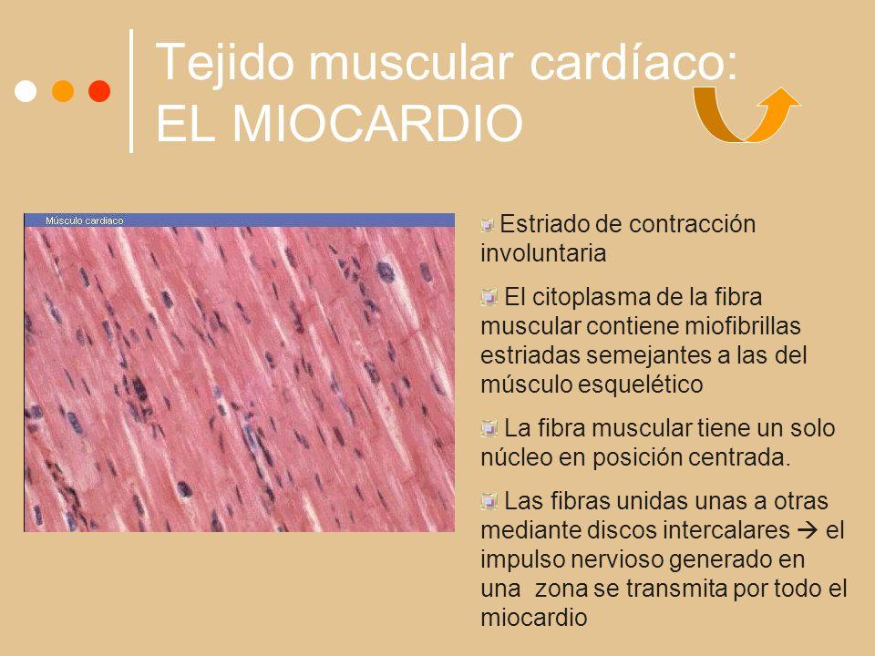 Tejido muscular cardíaco: EL MIOCARDIO Estriado de contracción involuntaria El citoplasma de la fibra muscular contiene miofibrillas estriadas semejantes a las del músculo esquelético La fibra muscular tiene un solo núcleo en posición centrada.