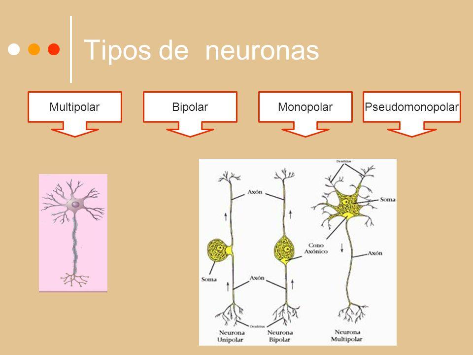 Tipos de neuronas MultipolarBipolarMonopolarPseudomonopolar
