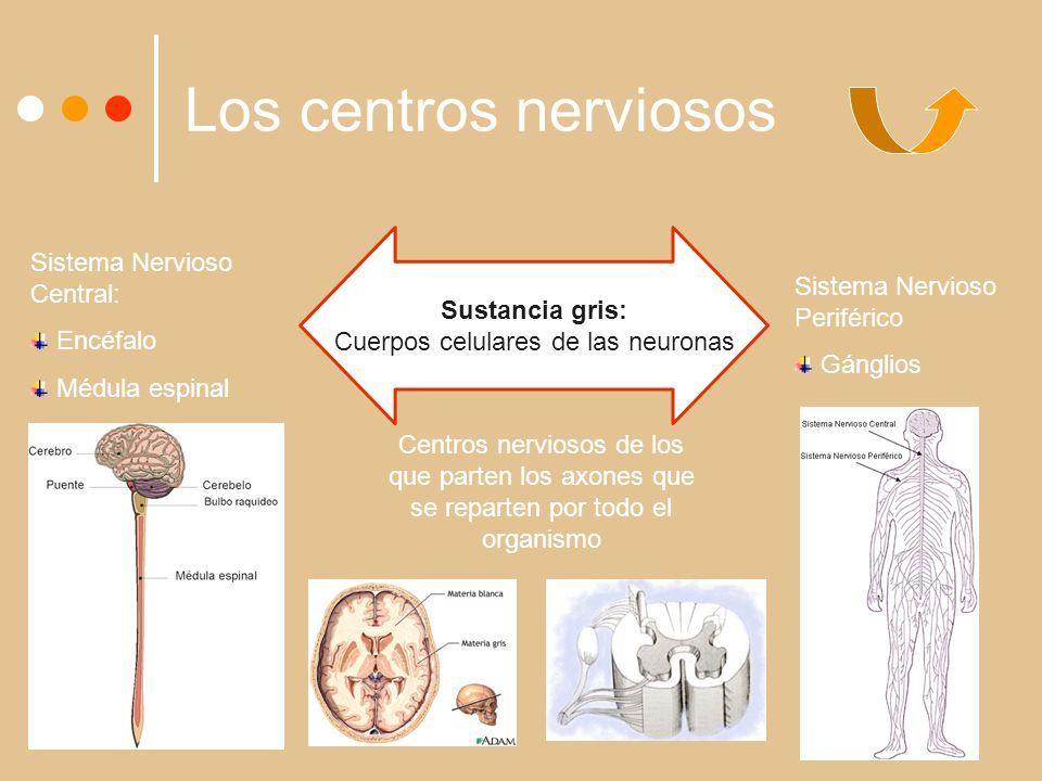 Los centros nerviosos Sustancia gris: Cuerpos celulares de las neuronas Sistema Nervioso Central: Encéfalo Médula espinal Sistema Nervioso Periférico Gánglios Centros nerviosos de los que parten los axones que se reparten por todo el organismo