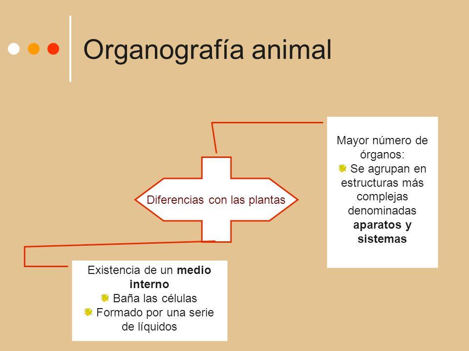 Organografía animal Diferencias con las plantas Mayor número de órganos: Se agrupan en estructuras más complejas denominadas aparatos y sistemas Existencia de un medio interno Baña las células Formado por una serie de líquidos