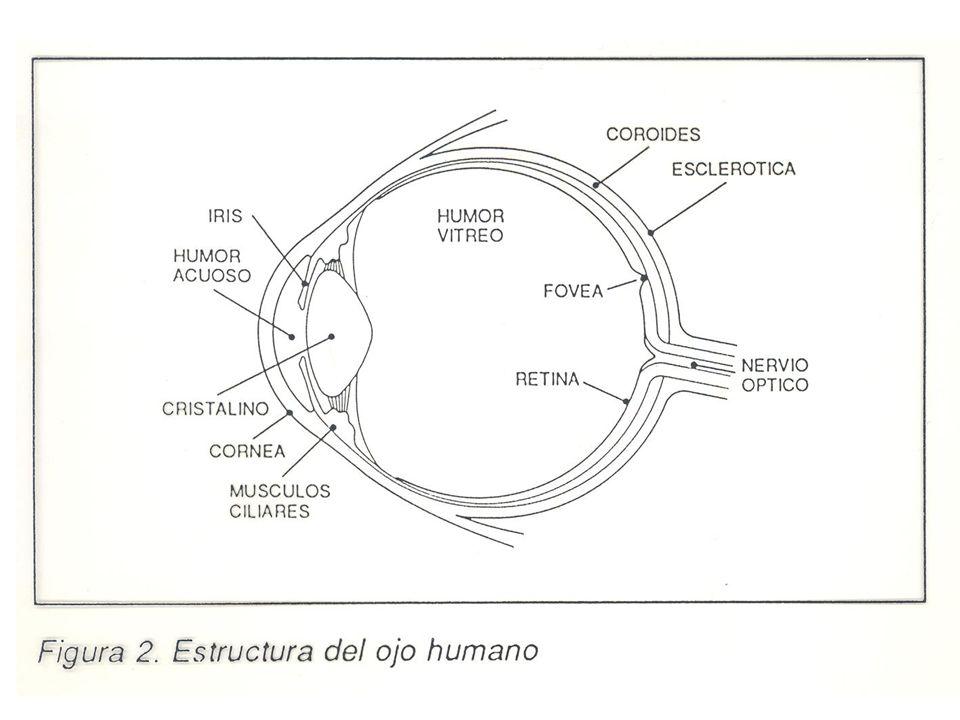MECANISMOS DE LA VISIÓN Adaptación: Es la capacidad que tienen el ojo para ajustarse automáticamente a diferentes luminancias de los objetos.