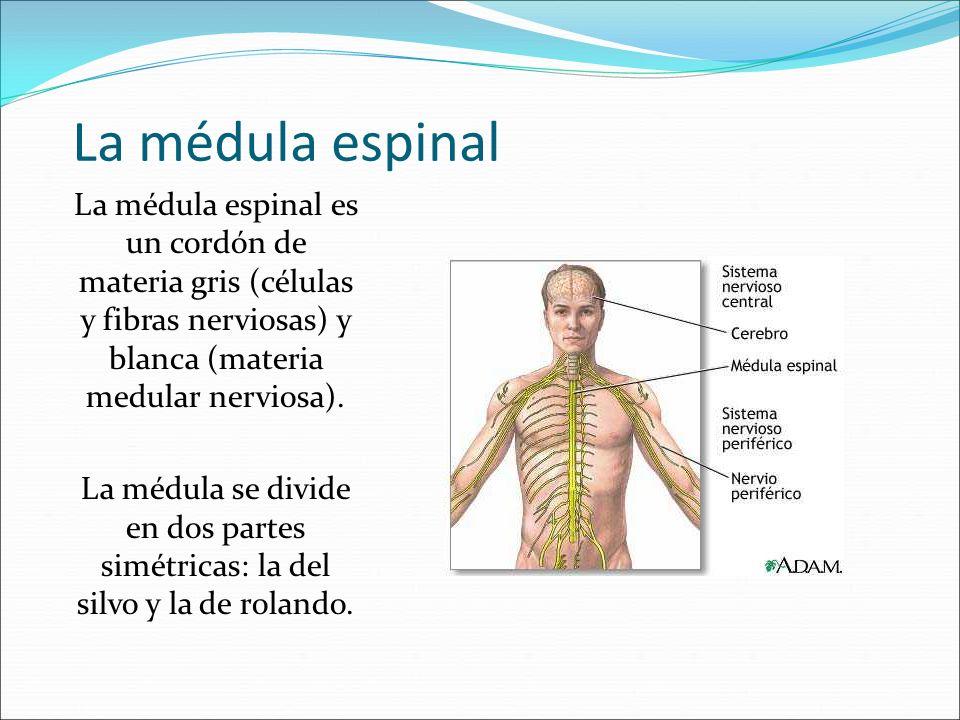 La médula espinal La médula espinal es un cordón de materia gris (células y fibras nerviosas) y blanca (materia medular nerviosa). La médula se divide