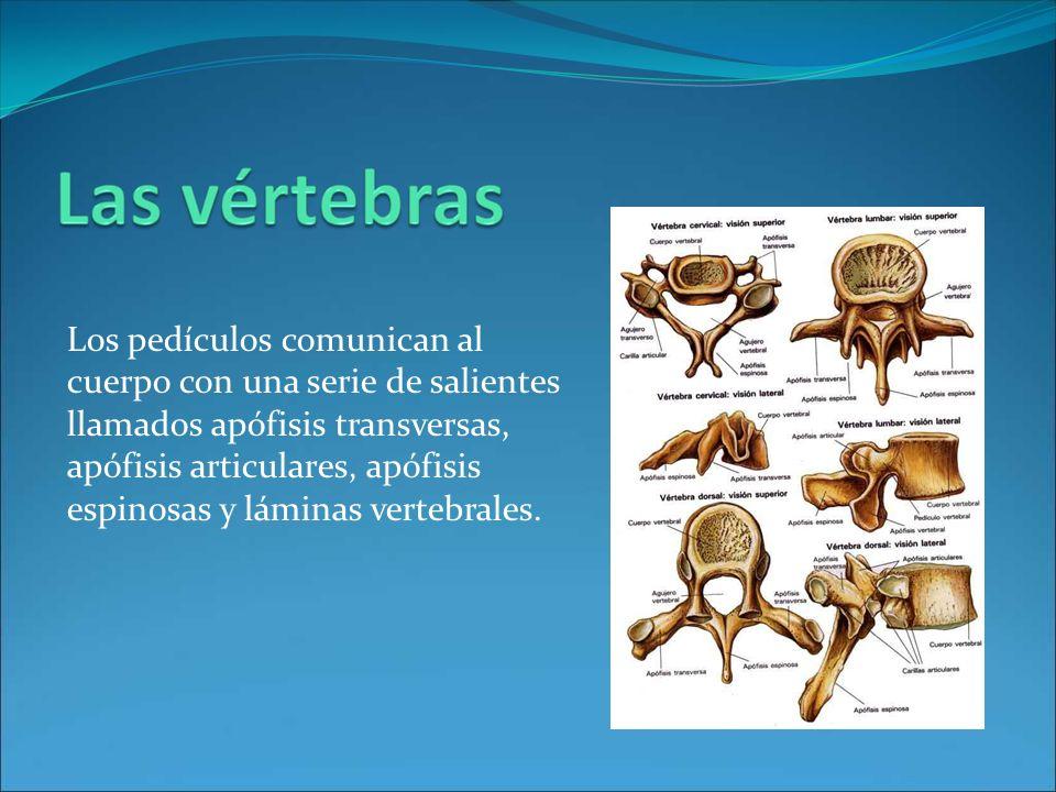 Los pedículos comunican al cuerpo con una serie de salientes llamados apófisis transversas, apófisis articulares, apófisis espinosas y láminas vertebr