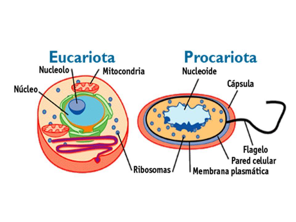 diferencias ProcariotaEucariota Estructura simpleEstructura compleja Menor tamañoMayor tamaño No estructuras especializadasEstructuras especializadas (mitocondrias y retículo endoplásmico) NucleoideNúcleo y Nucleolo No membrana nuclearMembrana nuclear FlageloNo flagelo CápsulaNo cápsula