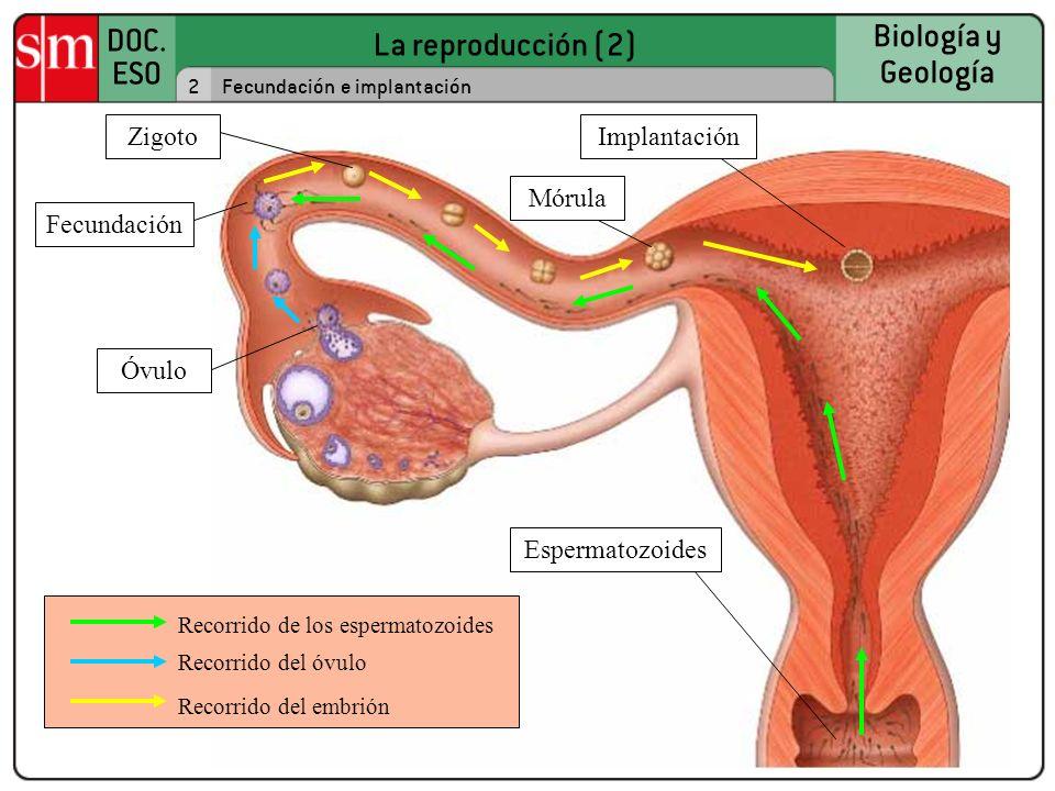 La reproducción (2) DOC. ESO Biología y Geología 2Fecundación e implantación Recorrido de los espermatozoides Recorrido del óvulo Recorrido del embrió